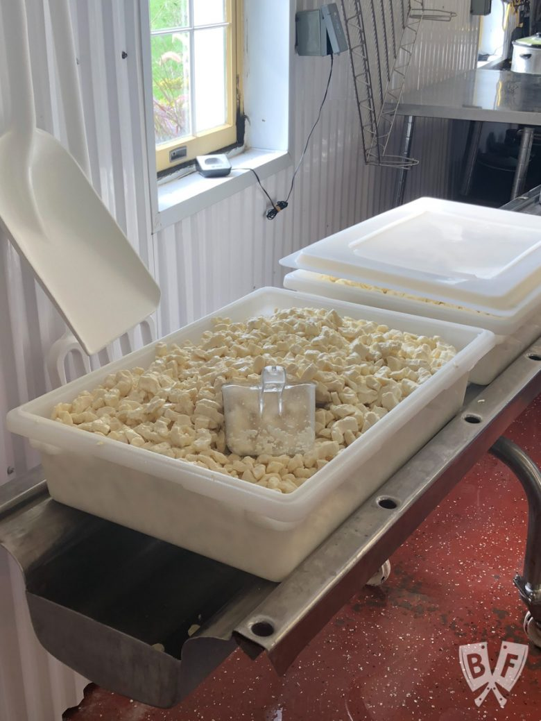 A vat of freshly made cheese curds on the farm.